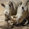 Światowy Dzień Nosorożca